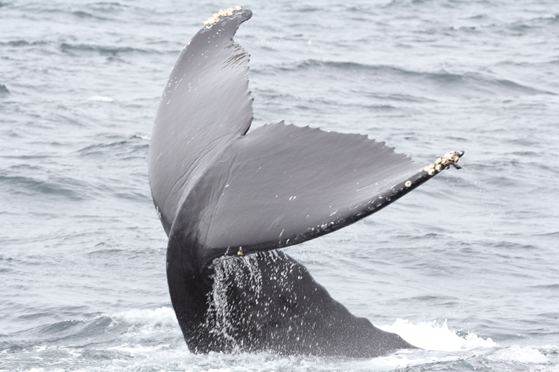 Monterey Bay, CA Humpback Whale Photo Gallery